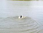 Swimming after the duck decoy