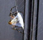 Shelob bundling up dinner